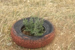 A sapling growing in At-Tuwani.