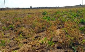 a field damaged by Israel's spraying pesticides contributes to hunger among gazan children